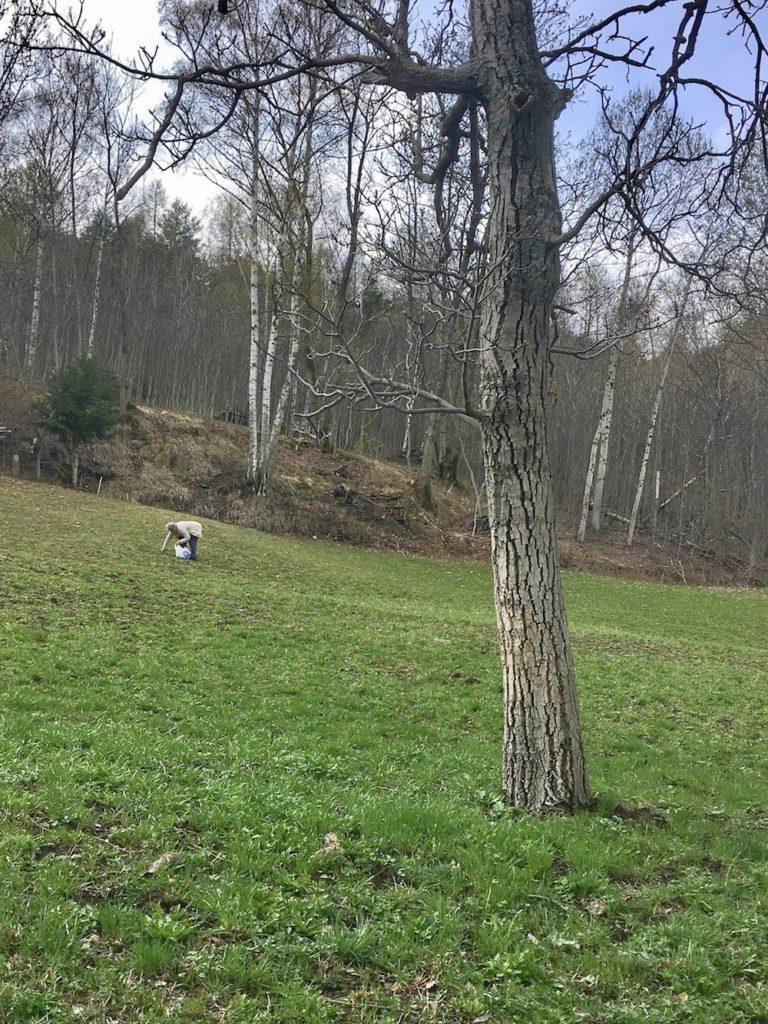 raccolta tarassaco-erbe selvatiche commestibili