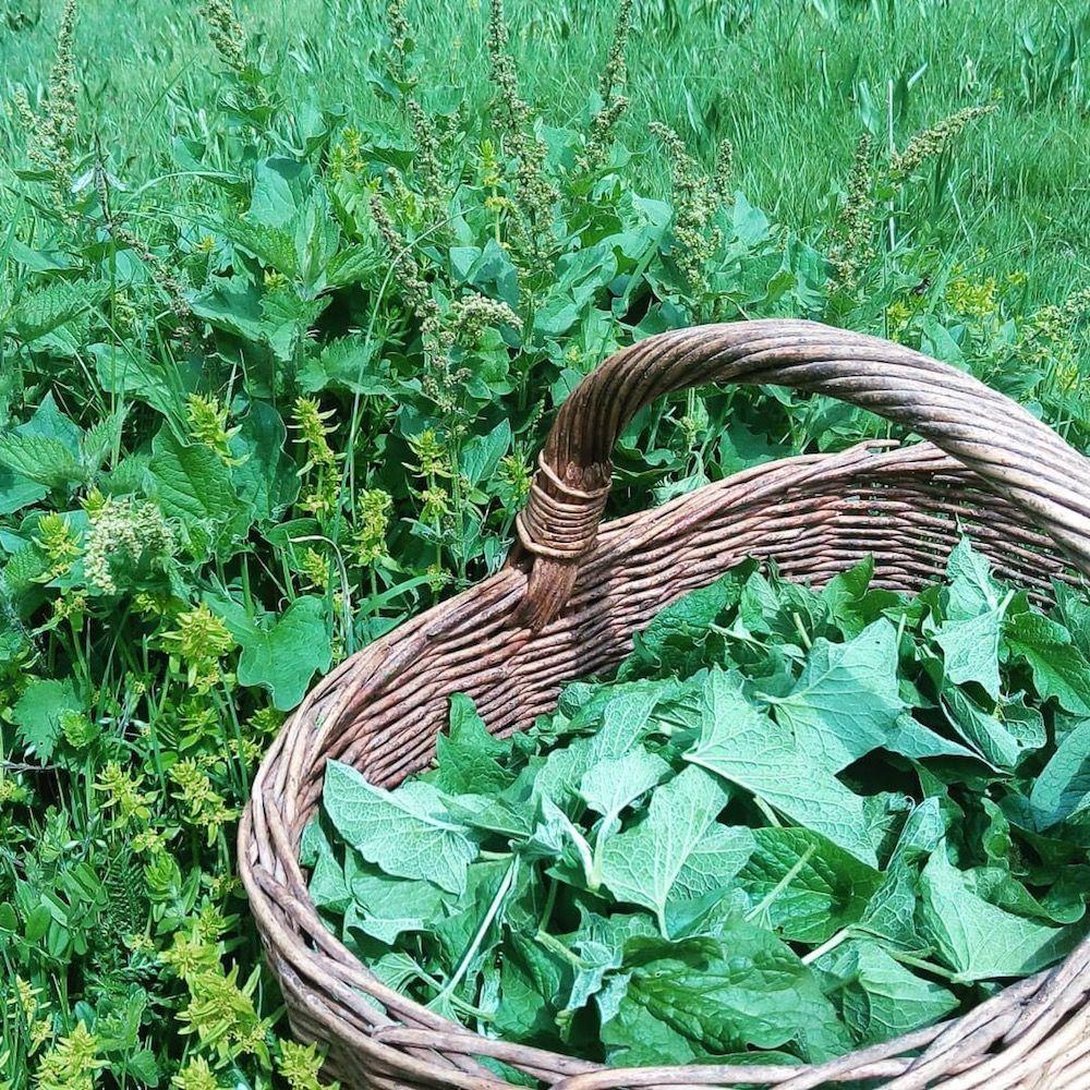 erbe commestibili-spinaci selvatici