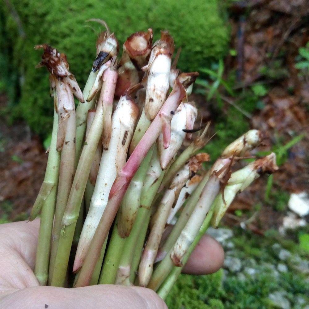 erbe selvatiche commestibili-asparagi di montagna