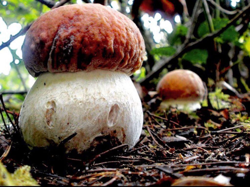 funghi porcini-perfetto fungaiolo
