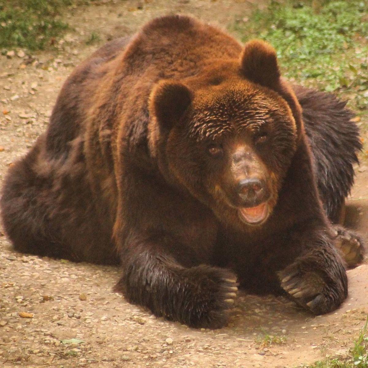 orso di san romedio Bruno