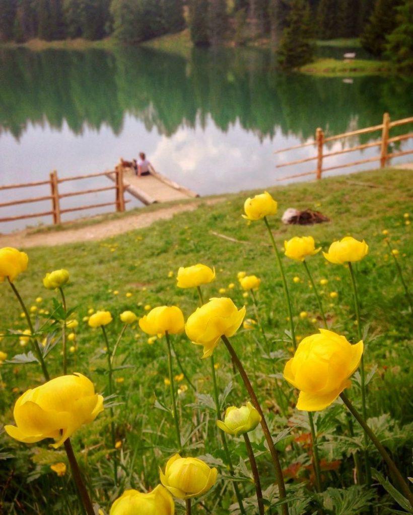 fioritura dei botton d oro al lago di tret