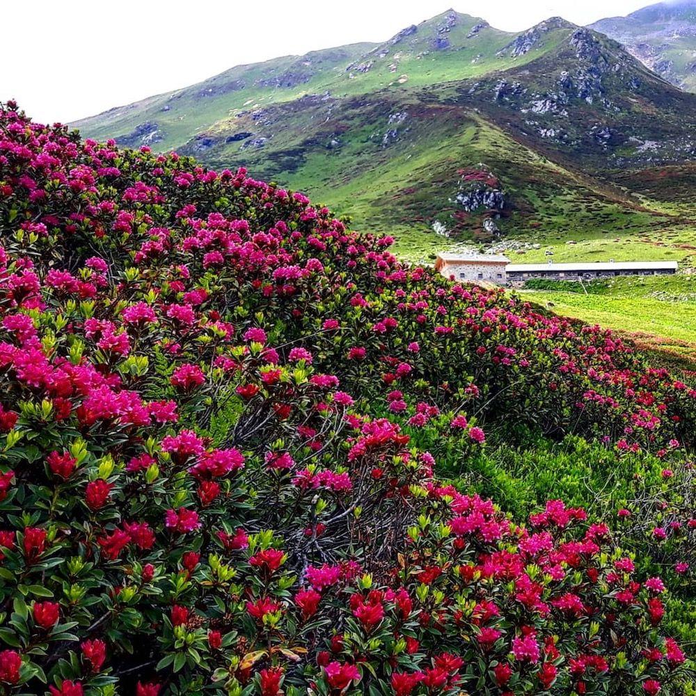 rododendri in fiore in val di bresimo