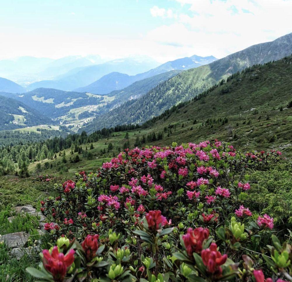 rododendri in fiore in val di non